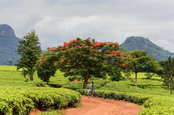 Tee Plantage in Malawi, das Bild aus Afrika erhältlich im Onlineshop