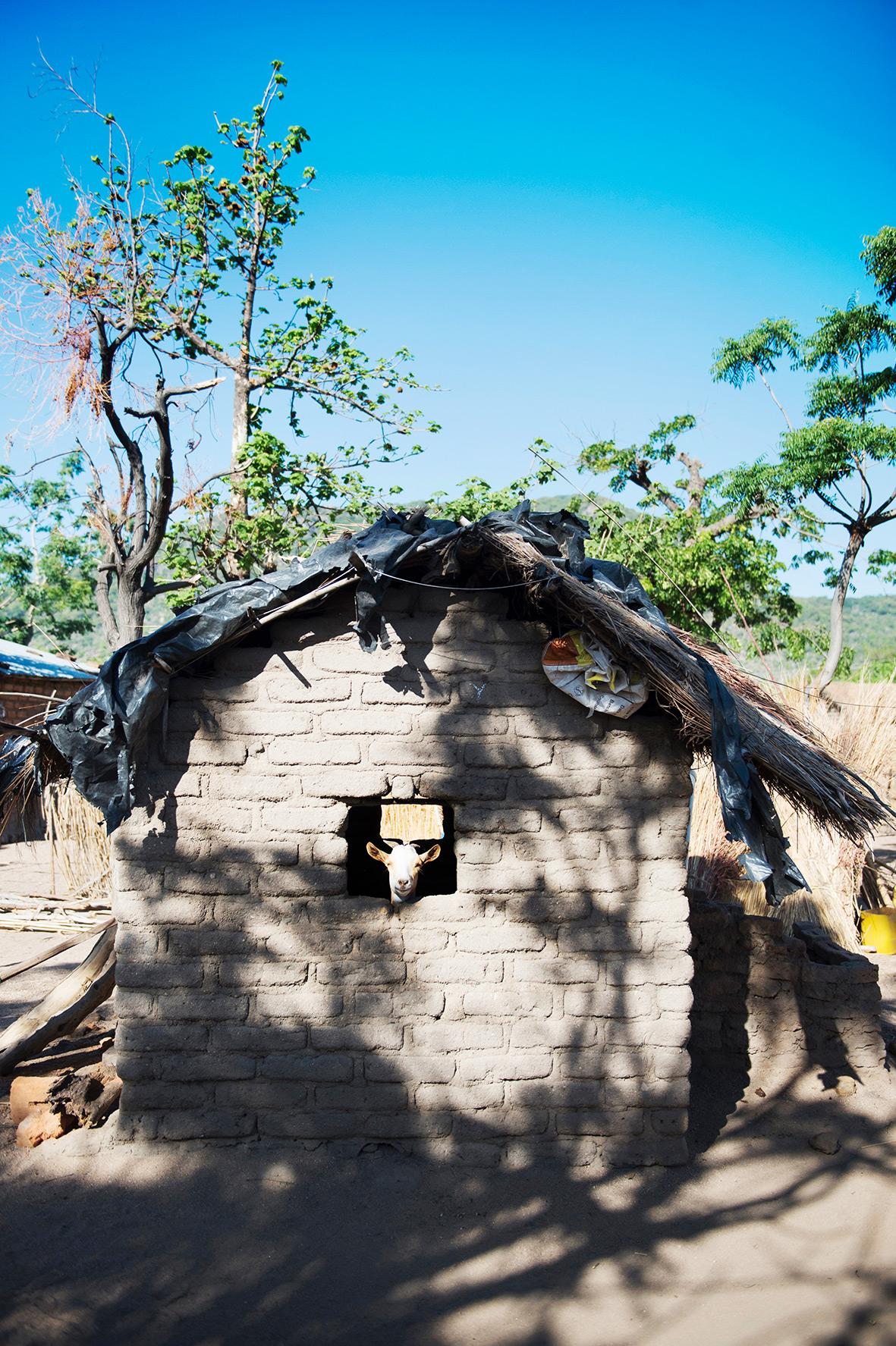 Hütte und Ziege, Landleben in Malawi, Bild aus Afrika erhältlich im Onlineshop