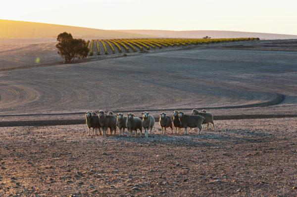 Swartland Weinberge Südafrika, Bild aus Afrika erhältlich im Onlineshop