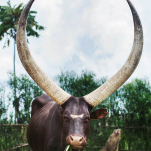 The African Inyambo cow, Rwanda.
