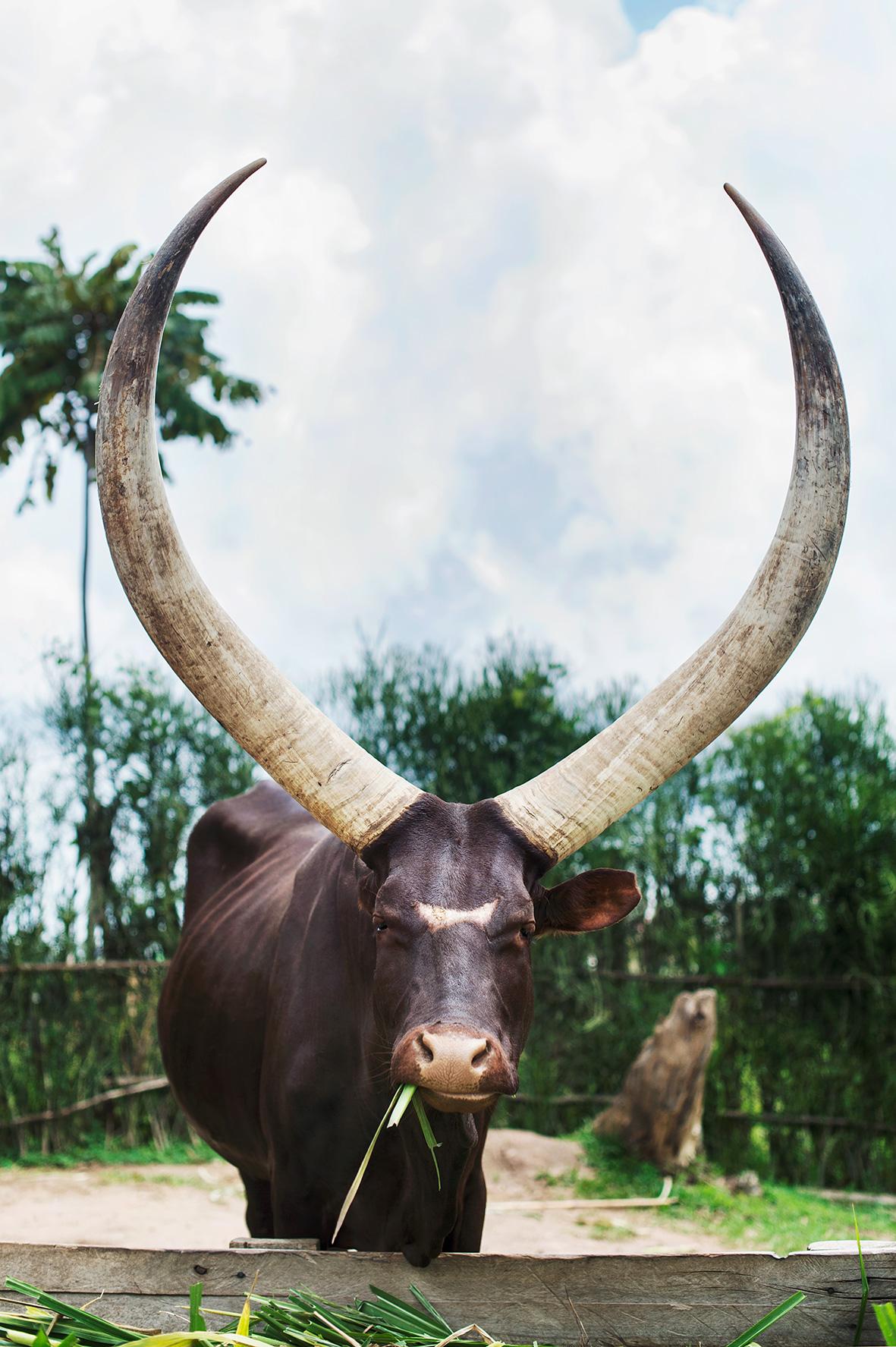 Afrikanischer Kuh Inyambo aus Ruanda